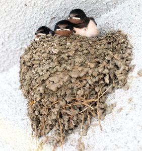 が 家 作る 巣 ツバメ を